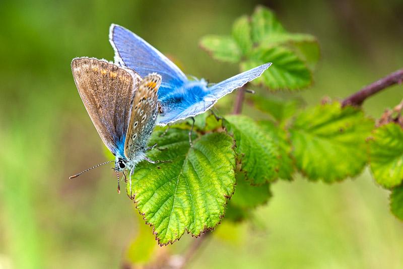 Common Blue (Polyommatus icarus) - Lynchcombe, Somerset, UK. ID DSC_2585