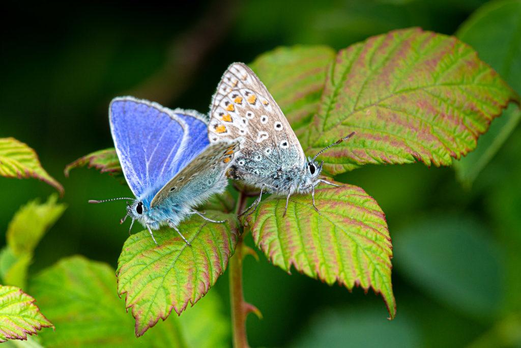 Common Blue (Polyommatus icarus) - Lynchcombe, Somerset, UK. ID DSC_2649
