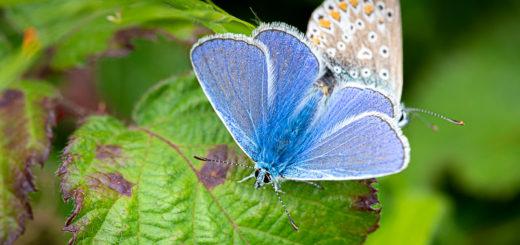 Common Blue (Polyommatus icarus) - Lynchcombe, Somerset, UK. ID DSC_2689