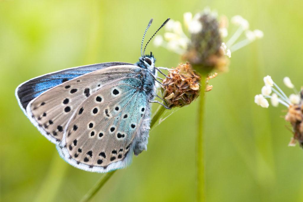 Large Blue (Maculinea arion) - Collard Hill, Somerset, UK. ID DSC_2722