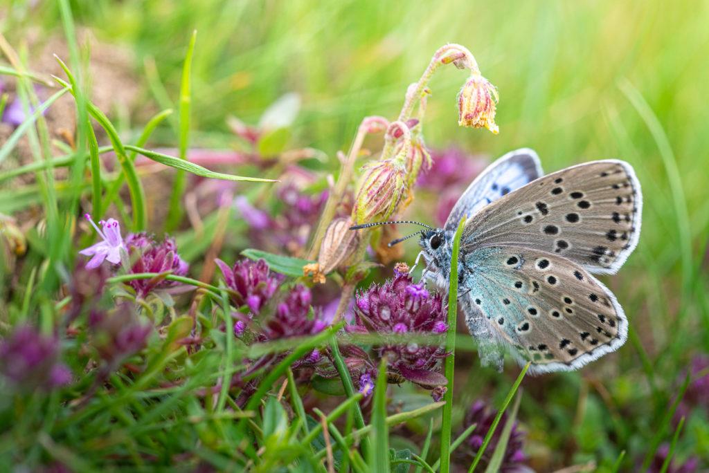 Large Blue (Maculinea arion) - Collard Hill, Somerset, UK. ID DSC_2759