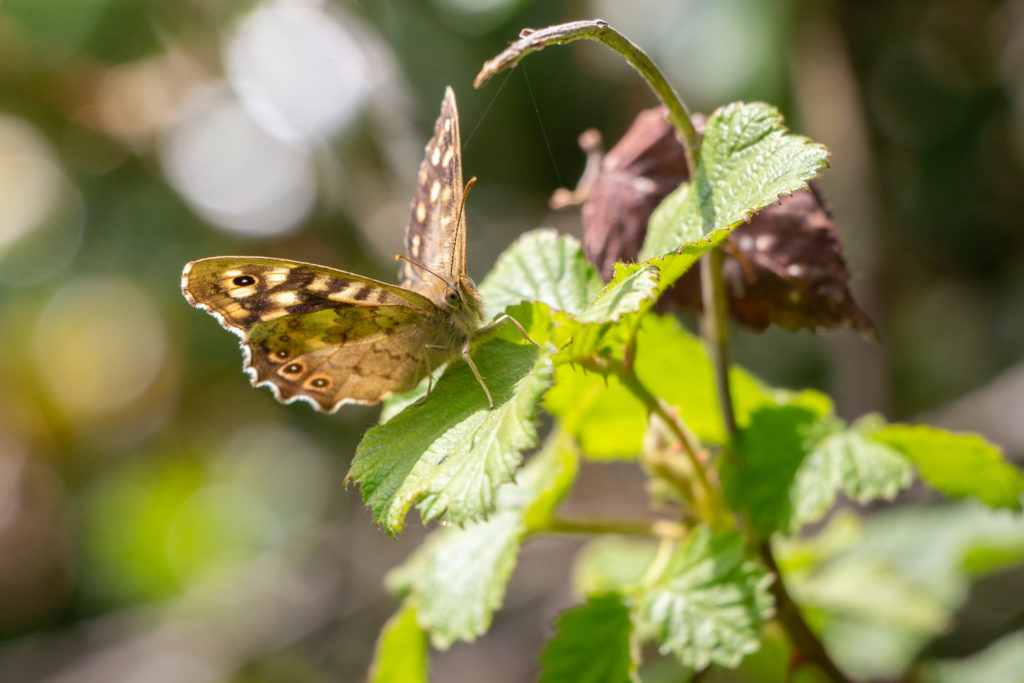 Speckled Wood (Pararge aegeria) - Lynchcombe, Somerset, UK. ID IMG_1150