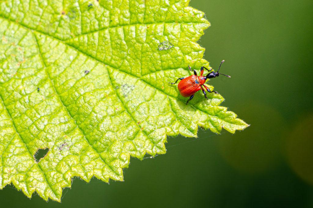 Hazel Leaf-rolling Weevil (Apoderus coryli) - Lynchcombe, Somerset, UK. ID IMG_1198