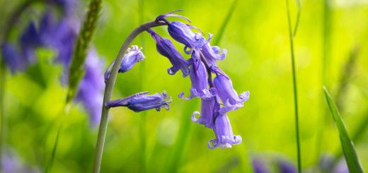 Bluebells - Lynchcombe, Somerset, UK. ID IMG_1229