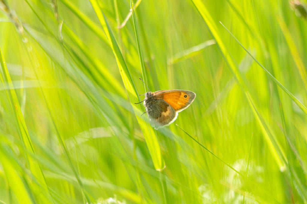 Small Heath (Coenonympha pamphilus) - Lynchcombe, Somerset, UK. ID IMG_1555
