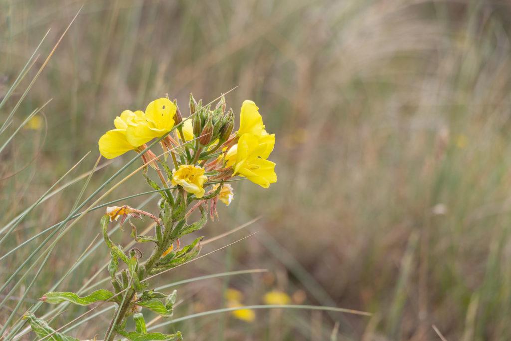 Common Evening Primrose (Oenothera biennis) - Braunton Burrows, Devon, UK. ID IMG_2505