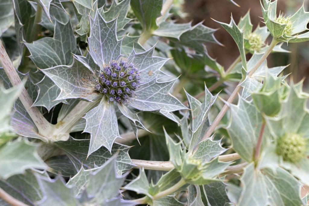 Sea Holly (Eryngium maritimum) - Braunton Burrows, Devon, UK. ID IMG_2512