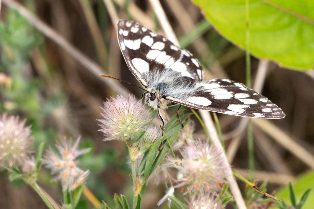 Marbled White (Melanargia galathea) - Braunton Burrows, Devon, UK. ID IMG_2763