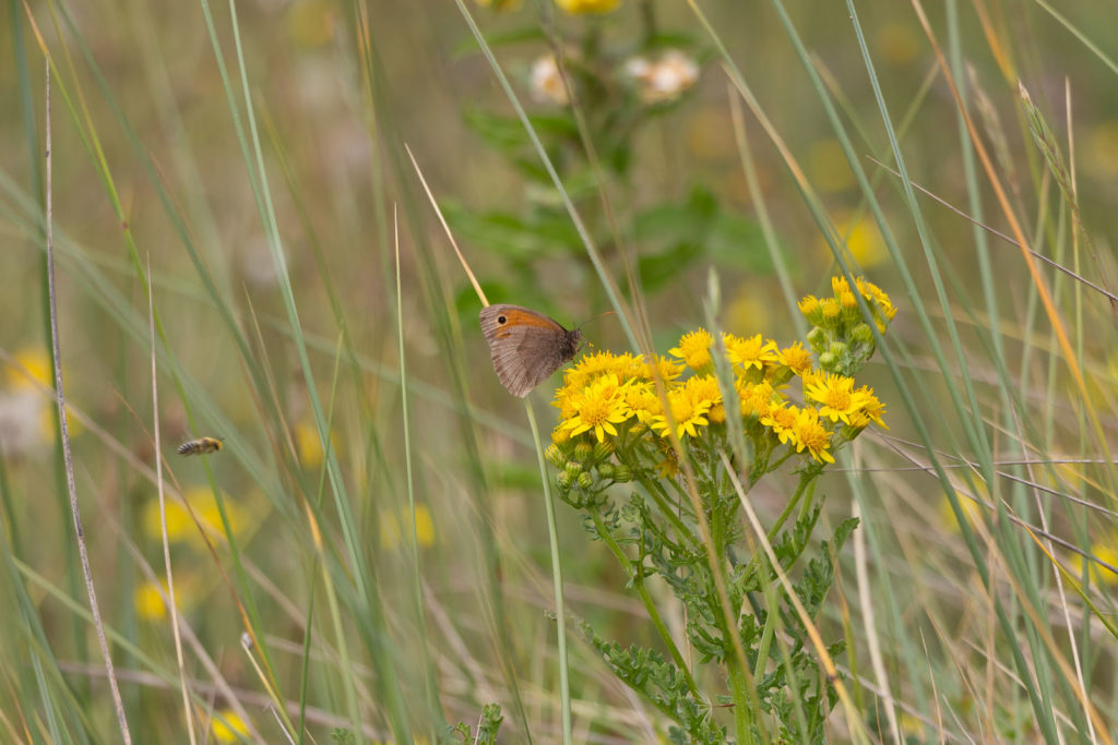 Meadow Brown (Maniola jurtinaon) on Ragwort (Senecio jacobaea) - Braunton Burrows, Devon, UK. ID IMG_2781