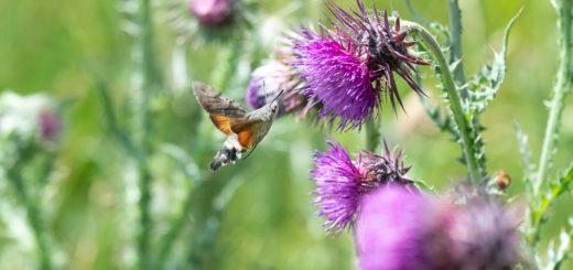 Hummingbird Hawk Moth (Macroglossum stellatarum) - Lynchcombe, Somerset, UK. ID JB1_4600