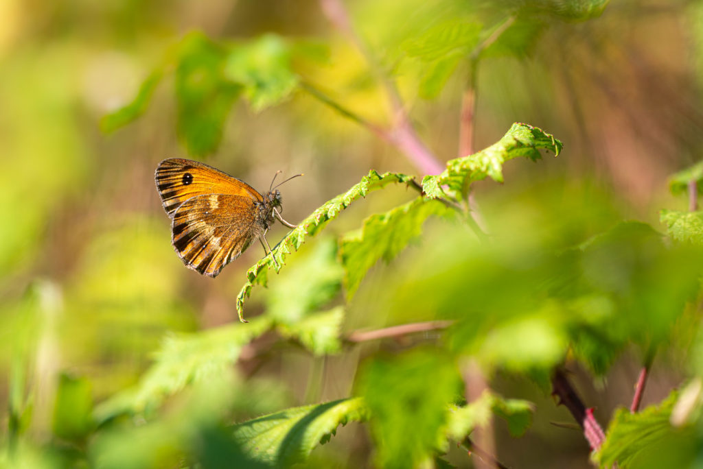 Gatekeeper (Pyronia tithonus) - Draycott Sleights, Somerset, UK. ID JB1_5136