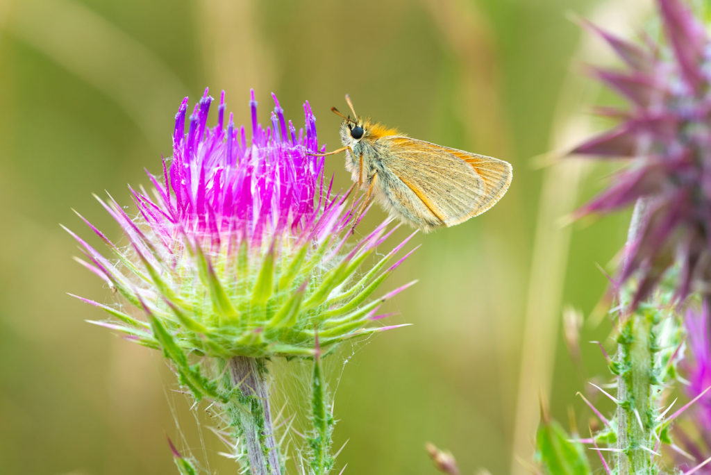Small Skipper (Thymelicus sylvestris) - Lynchcombe, Somerset, UK. ID JB1_5369