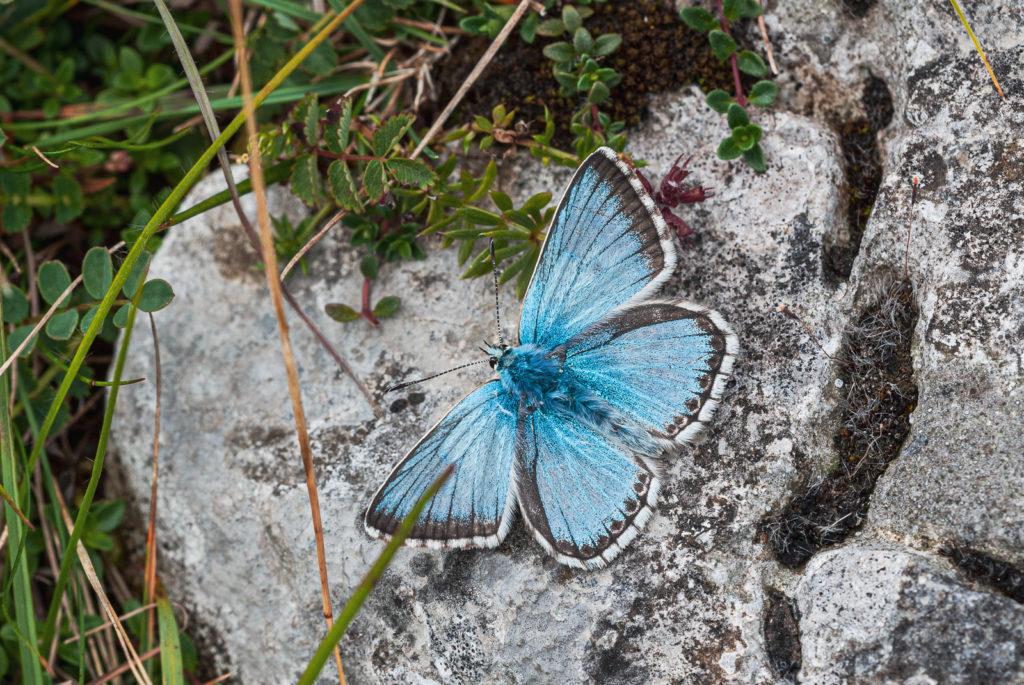 Chalkhill Blue (Polyommatus coridon) - Draycott Sleights, Somerset, UK. ID JB4_7342