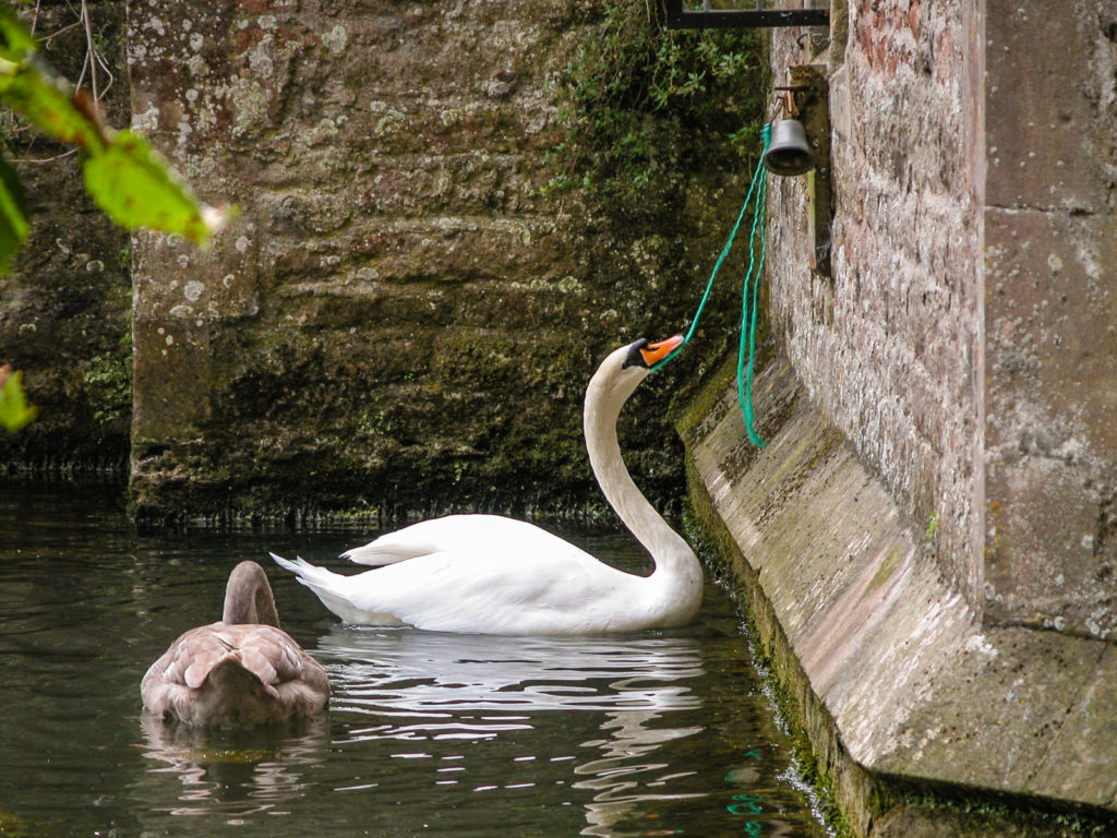 Swans Ring the Bell
