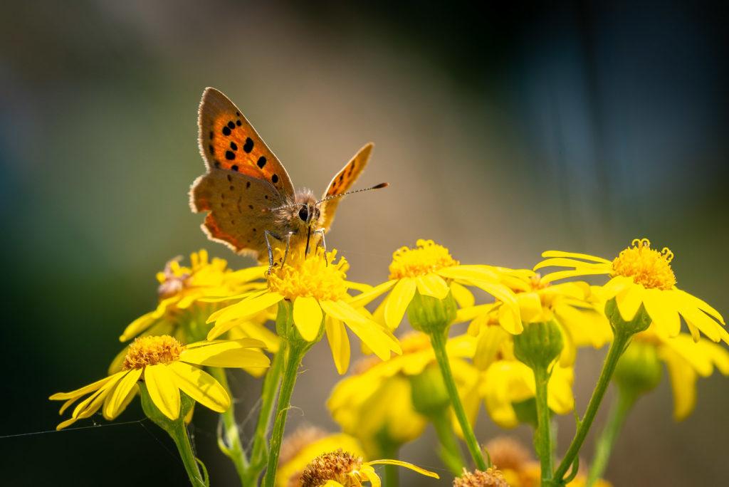 Small Copper (Lycaena phlaeas) on Ragwort (Senecio jacobaea) - Lynchcombe, Somerset, UK. ID JB1_0329