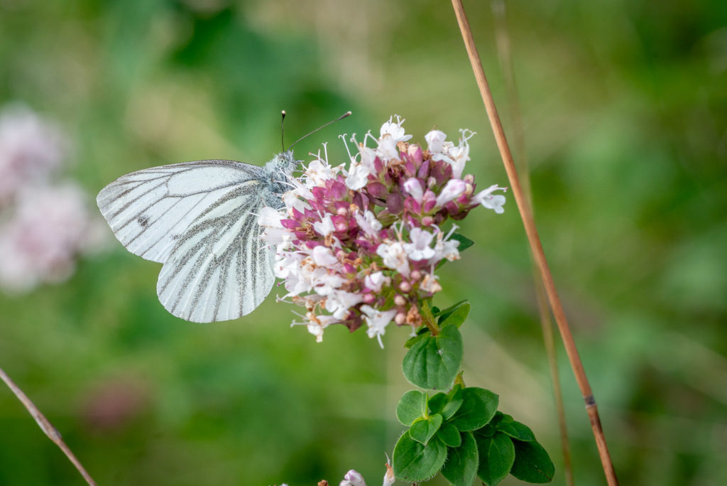 Green-viened white (Pieris napi) - Lynchcombe, Somerset, UK. ID JB1_0912
