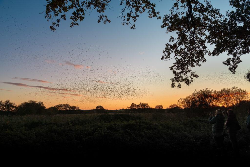 Starling Murmuration - Loxtons, Ham Wall, Somerset, UK. ID JB1_1538