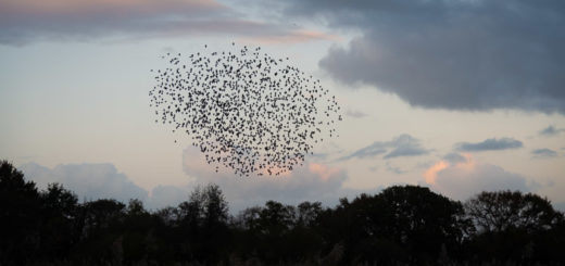 Starling Murmuration - Loxtons, Ham Wall, Somerset, UK. ID JB1_2071