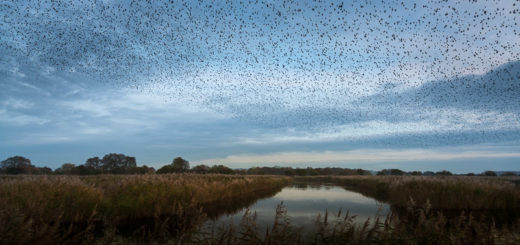 Starling Murmuration - Ham Wall
