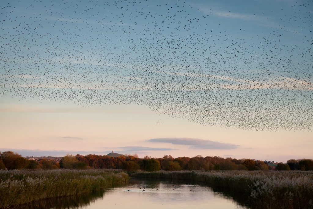 Starlings - Walton Heath, Ham Wall, Somerset, UK.