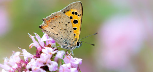 Small Copper (Lycaena phlaeas) - Lynchcombe, Somerset, UK. ID JB1_7483
