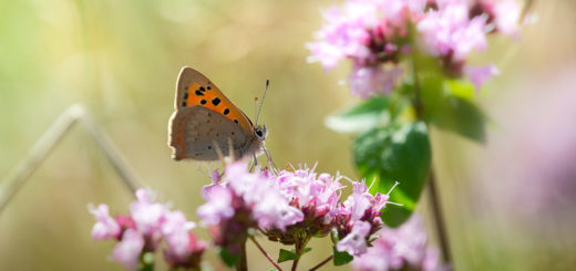 Small Copper (Lycaena phlaeas) on Wild Marjoram (Origanum vulgare) - Lynchcombe, Somerset, UK. ID JB1_9495