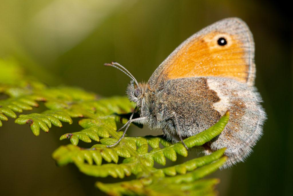 Small Heath (Coenonympha pamphilus) - Lynchcombe, Somerset, UK. ID JB1_9672