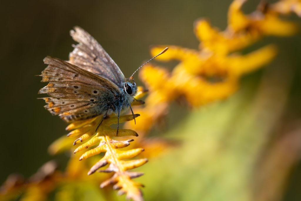 Common Blue (Polyommatus icarus) - Lynchcombe, Somerset, UK. ID JB1_9715