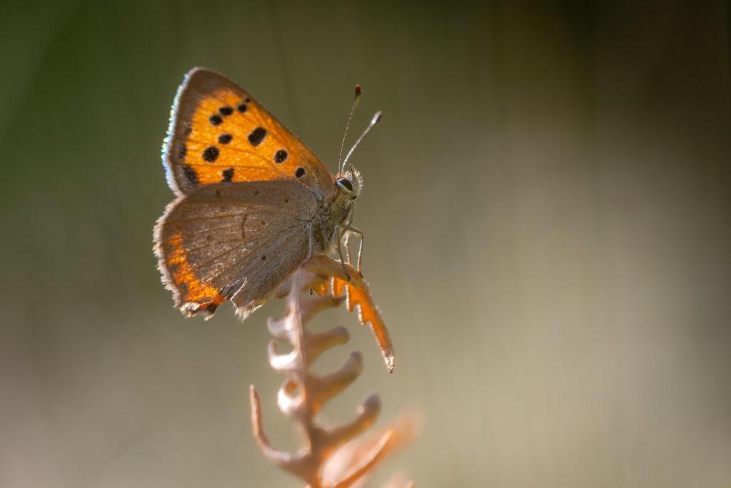 Small Copper (Lycaena phlaeas) - Lynchcombe, Somerset, UK. ID JB1_9775