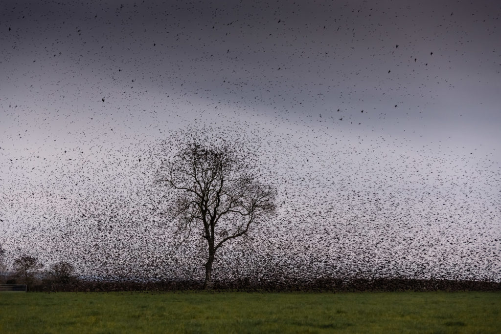 Starlings - Meare, Somerset, UK. ID 800_8585
