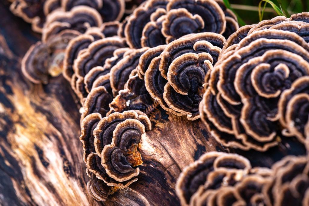 Fungi - Lynchcombe, Somerset, UK. ID JB1_2732