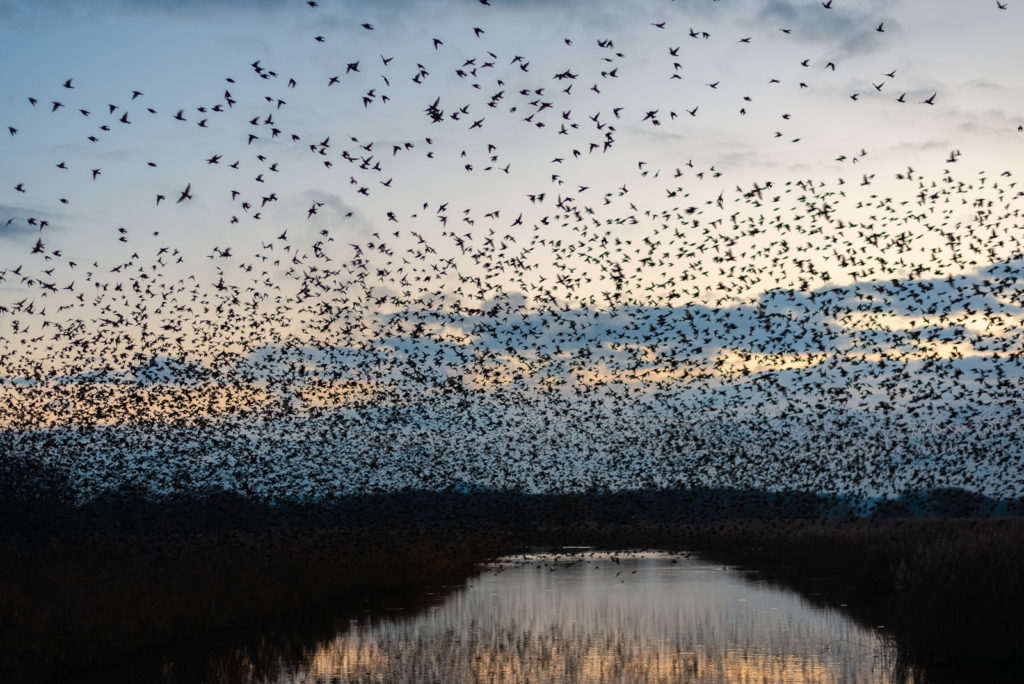 Starlings at Dawn - Ham Wall, Somerset, UK. ID JB1_5631