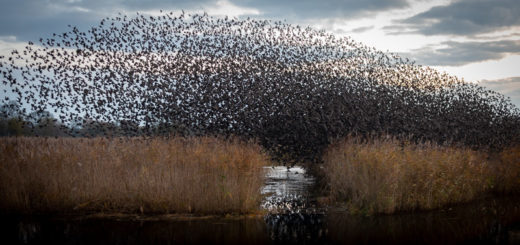 Starlings at Dawn - Ham Wall, Somerset, UK. ID JB1_5688