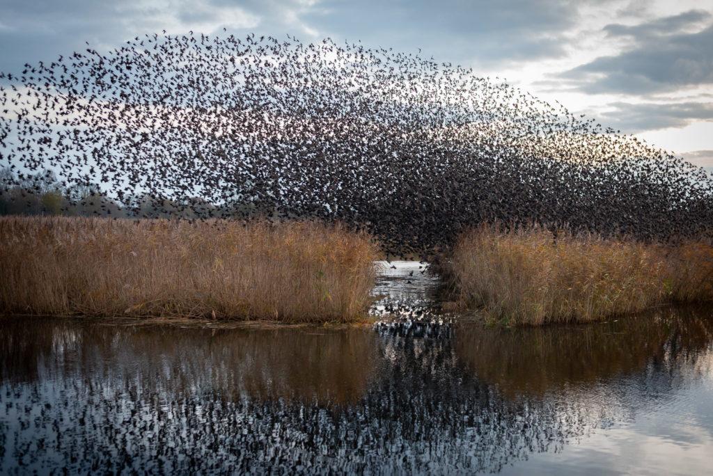 Starlings at Dawn - Ham Wall, Somerset, UK. ID JB1_5689