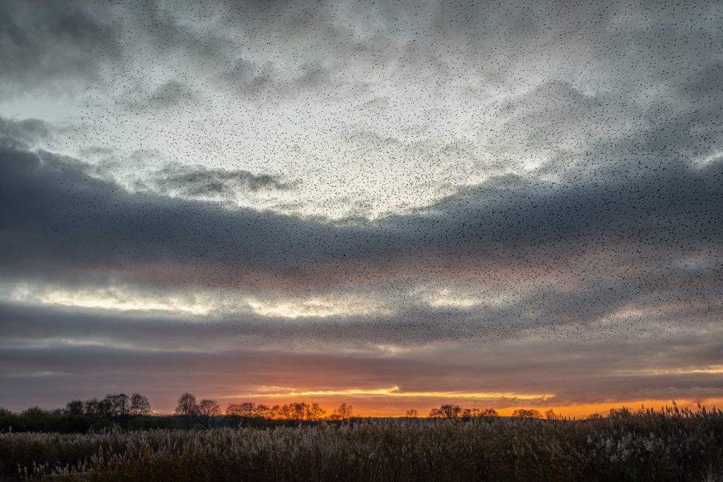 Starlings at Sunset - Ham Wall, Somerst, UK. ID JB1_5831