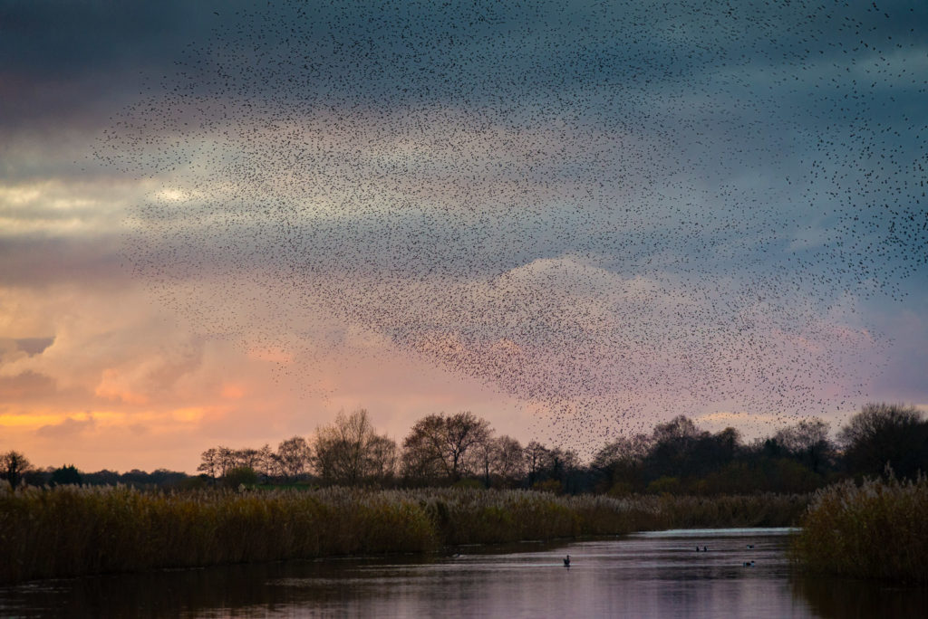 Starlings at Sunset - Ham Wall, Somerst, UK. ID JB1_5855