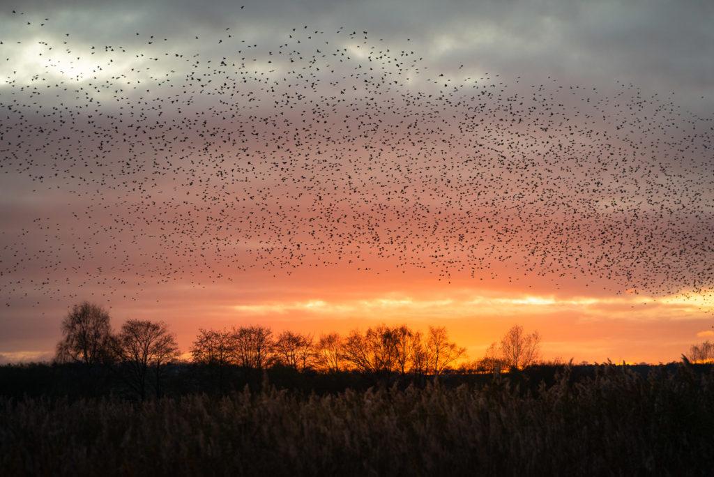 Starlings at Sunset - Ham Wall, Somerst, UK. ID JB1_5899