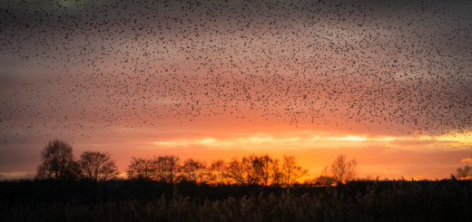 Starlings at Sunset - Ham Wall, Somerst, UK. ID JB1_5899