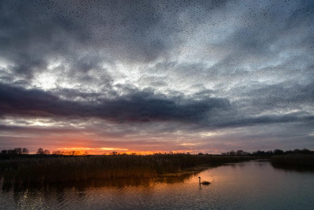 Starlings at Sunset - Ham Wall, Somerst, UK. ID JB1_5905
