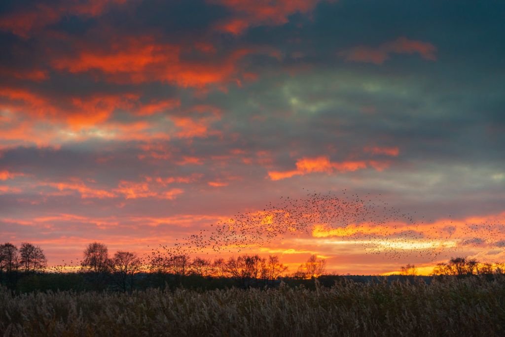 Starlings at Sunset - Ham Wall, Somerst, UK. ID JB1_5953