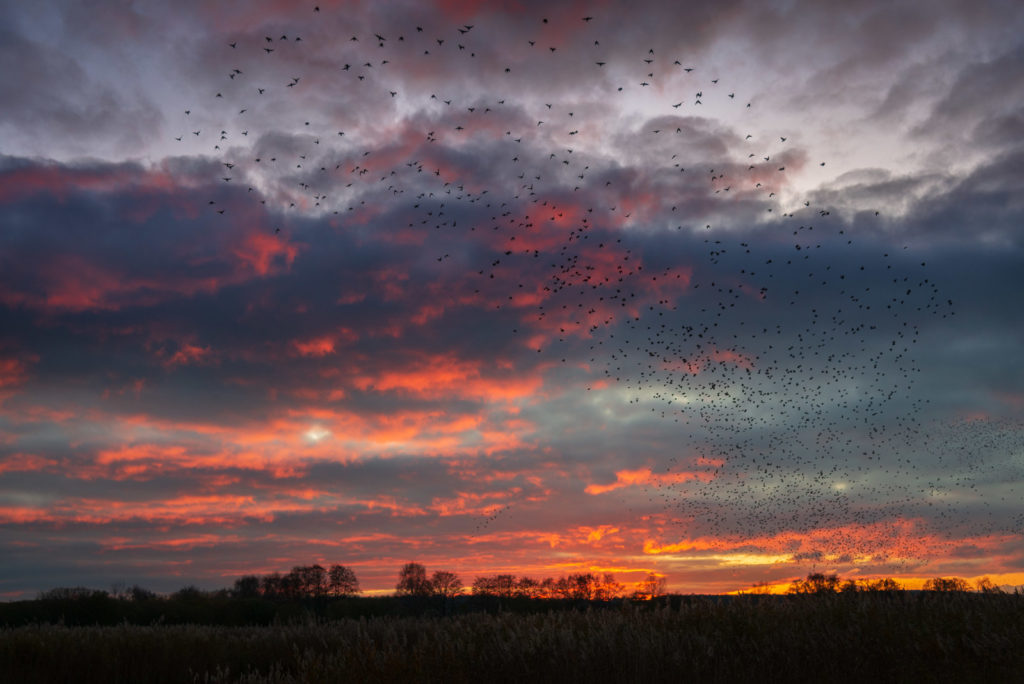 Starlings at Sunset - Ham Wall, Somerst, UK. ID JB1_5965