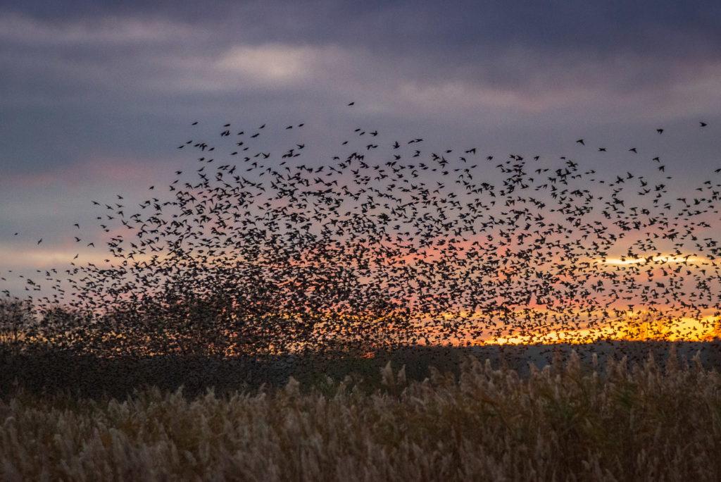 Starlings at Sunset - Ham Wall, Somerst, UK. ID JB1_6000