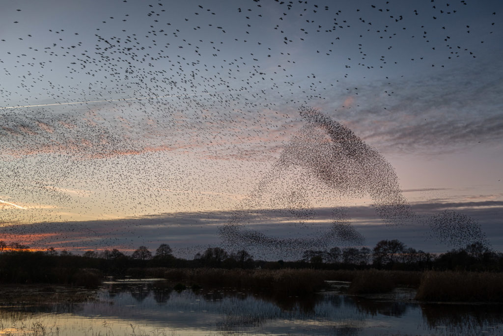 Starling Murmuration - Ham Wall, Somerset, UK. ID JB1_6406