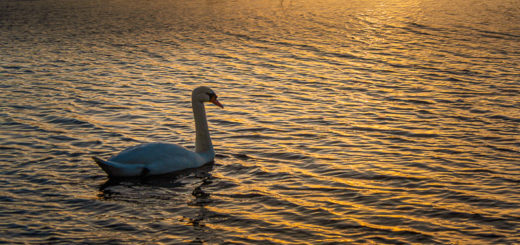 Swan in the sunset - Ham Wall, Somerset, UK. ID JB1_7065
