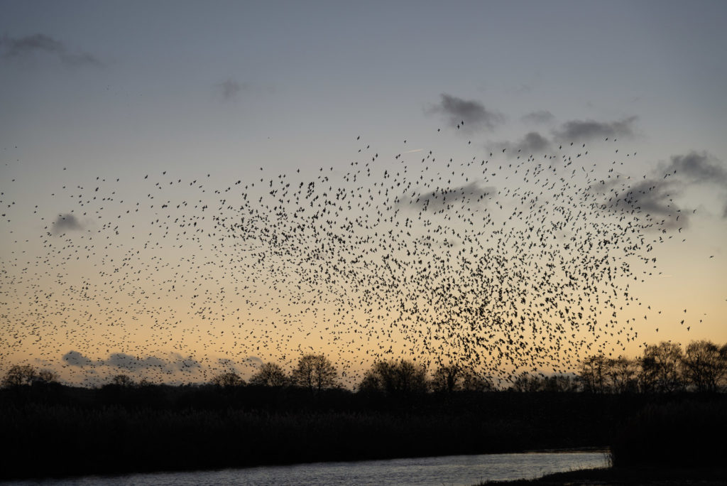 Starling Murmuration - Ham Wall, Somerset, UK. ID JB1_7160
