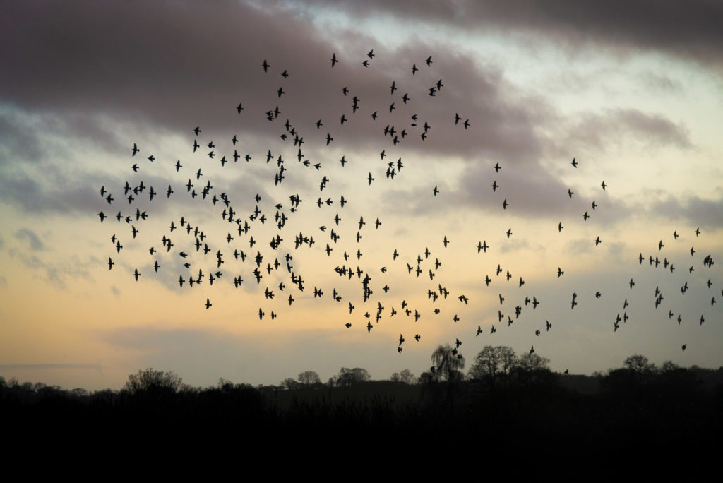 Starling Murmuration - Ham Wall, Somerset, UK. ID JB1_7461