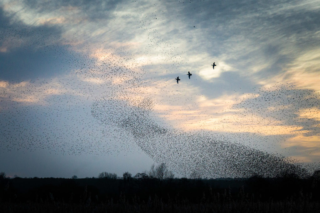 Wigeon and Starlings - Ham Wall, Somerset, UK. ID JB1_8685
