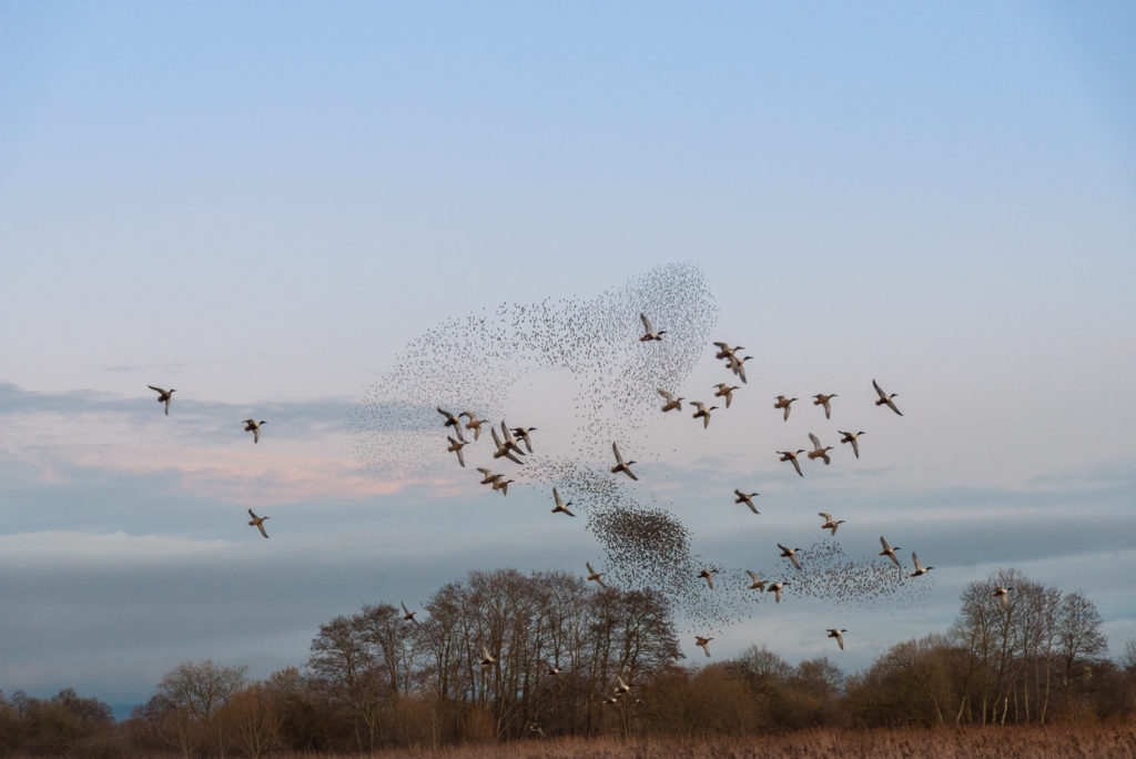 Shovellers and Starlings - Ham Wall, Somerset, UK. ID JB1_9206