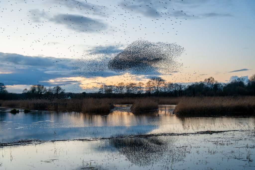 Starling Murmuration - Ham Wall, Somerset, UK. ID JB1_9305