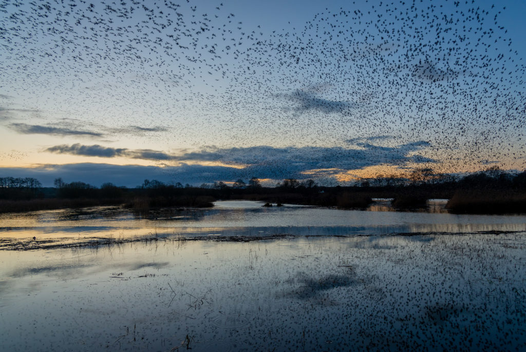 Starling Murmuration - Ham Wall, Somerset, UK. ID JB1_9387